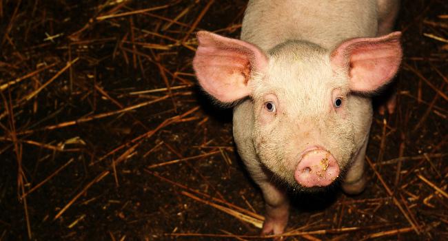Pig, March 2008 by Le Vent Le Cri