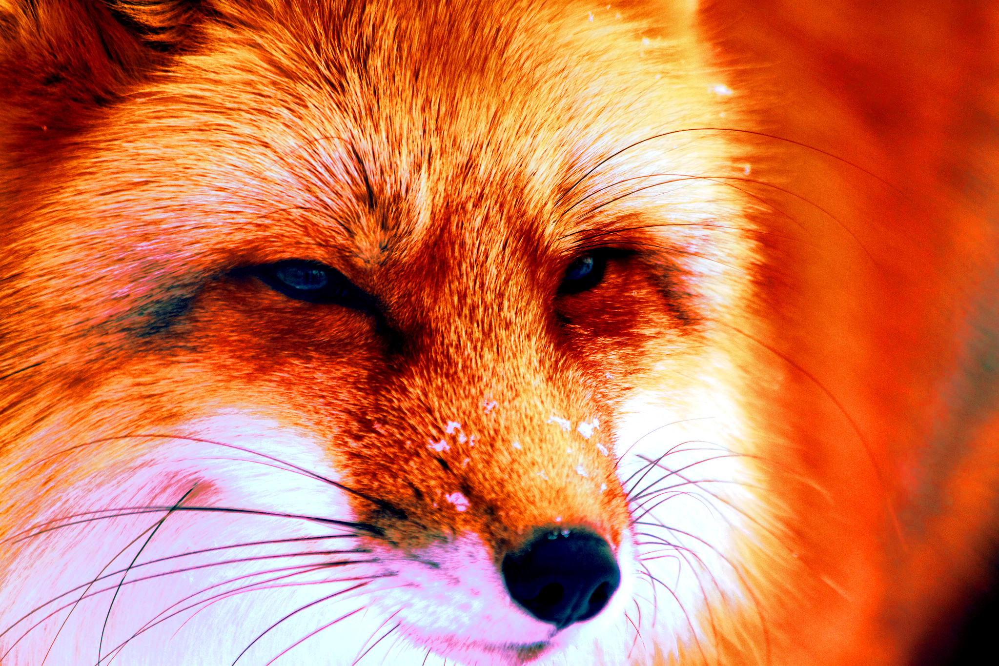 Fox original by Der Robert March 2013